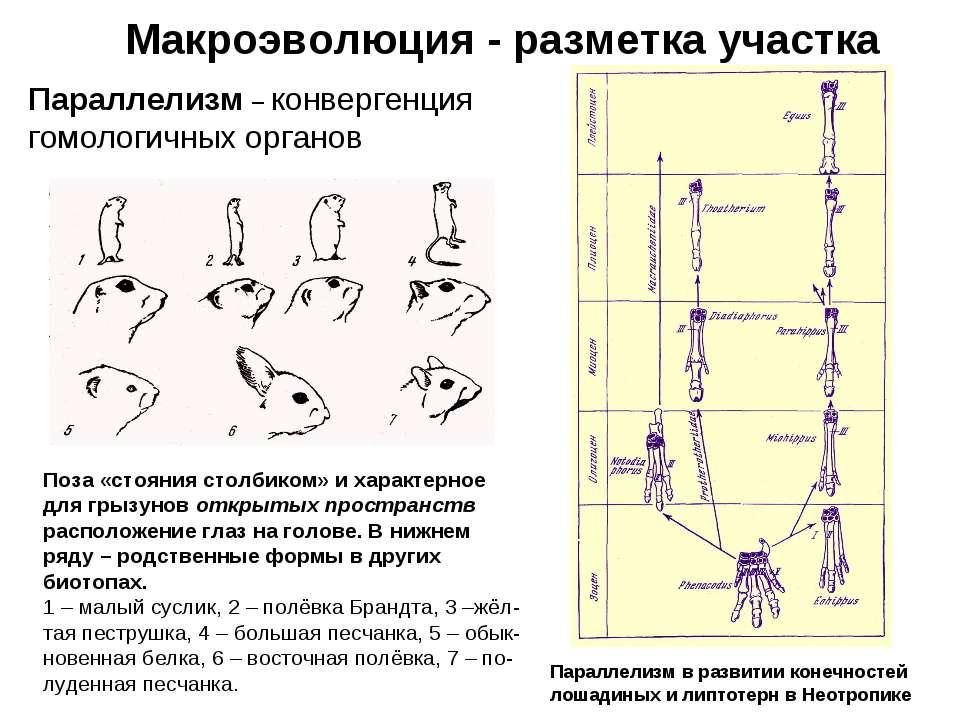 Макроэволюция - разметка участка Параллелизм – конвергенция гомологичных орга...