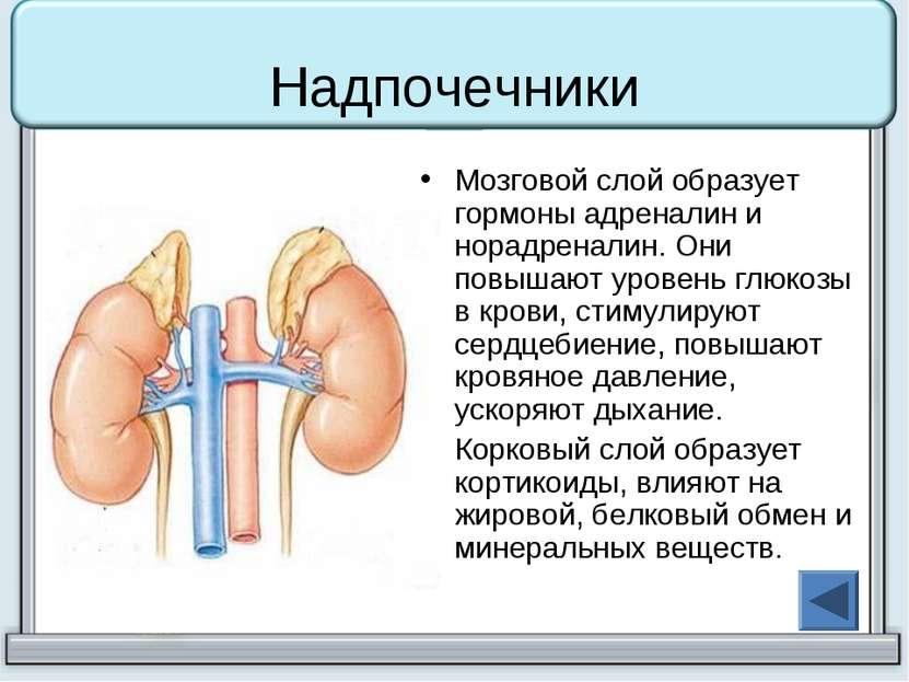 Надпочечники Мозговой слой образует гормоны адреналин и норадреналин. Они пов...