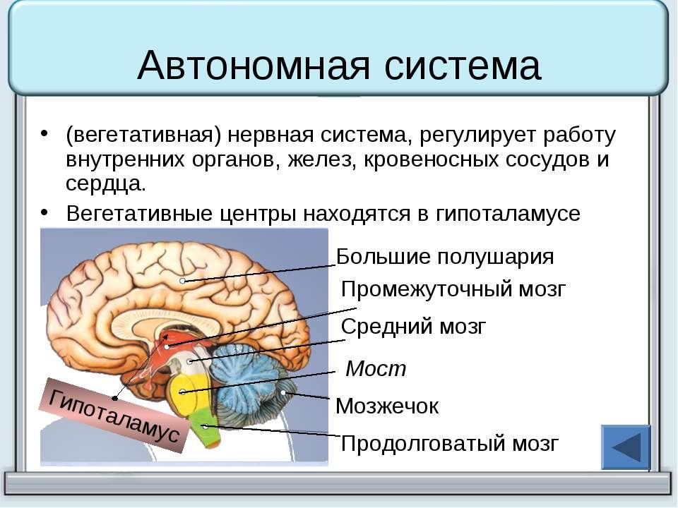 Автономная система (вегетативная) нервная система, регулирует работу внутренн...
