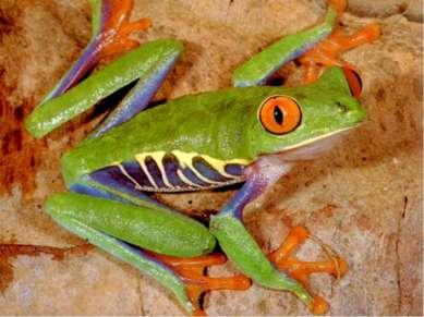 Самая ядовитая среди животных и самая маленькая среди южноамериканских лягуше...