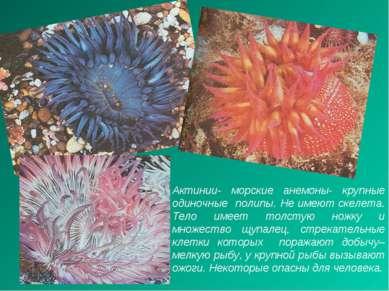 Актинии- морские анемоны- крупные одиночные полипы. Не имеют скелета. Тело им...