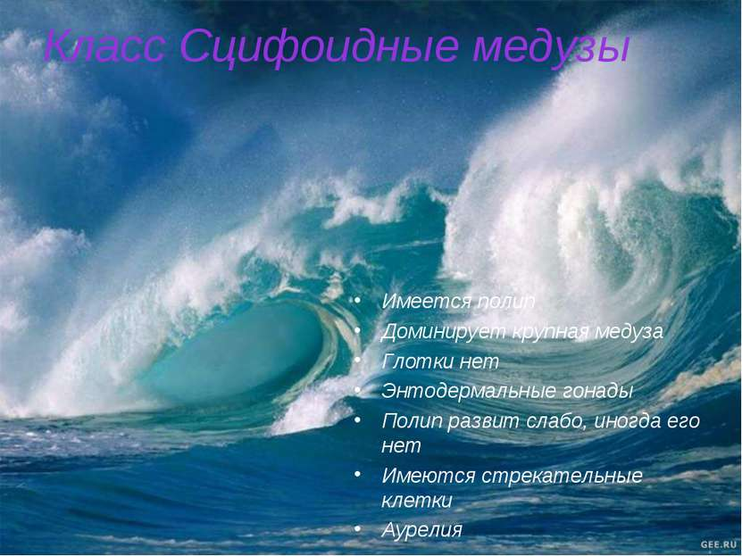 Класс Сцифоидные медузы Имеется полип Доминирует крупная медуза Глотки нет Эн...