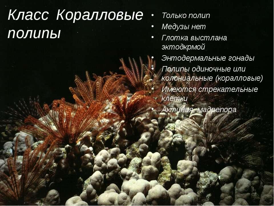Класс Коралловые полипы Только полип Медузы нет Глотка выстлана эктодкрмой Эн...