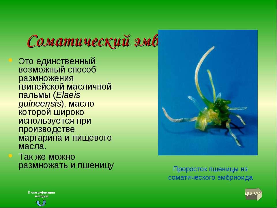 Соматический эмбриогенез Это единственный возможный способ размножения гвиней...
