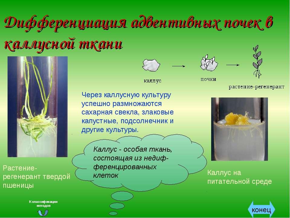 Дифференциация адвентивных почек в каллусной ткани Через каллусную культуру у...