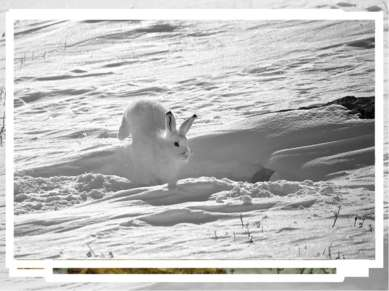 Беляк и русак - родня очень близкая… Зайцев на земле много – пятьдесят видов....