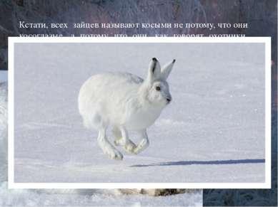 Кстати, всех зайцев называют косыми не потому, что они косоглазые, а потому ч...