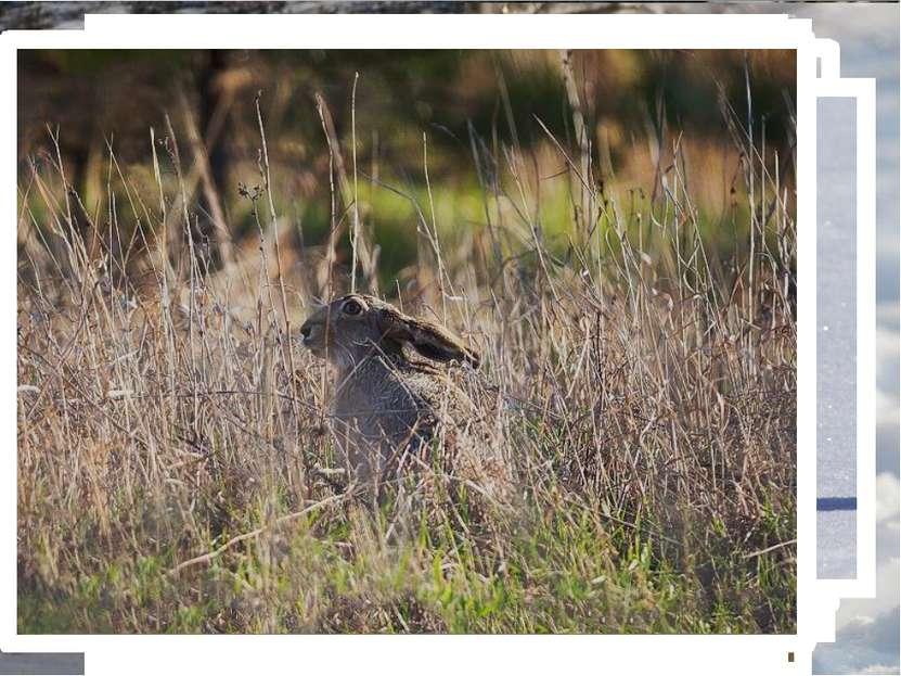 Внешний вид беляка Заяц-беляк является крупным представителем вида. Длина его...
