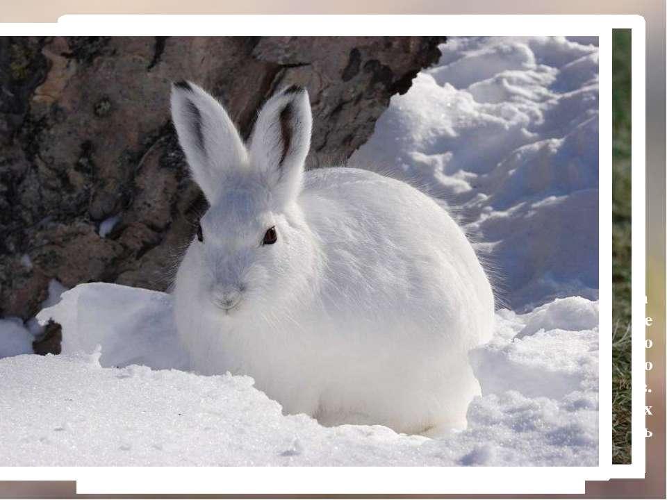 Летняя линька у беляков начинается в феврале-марте и заканчивается она к конц...