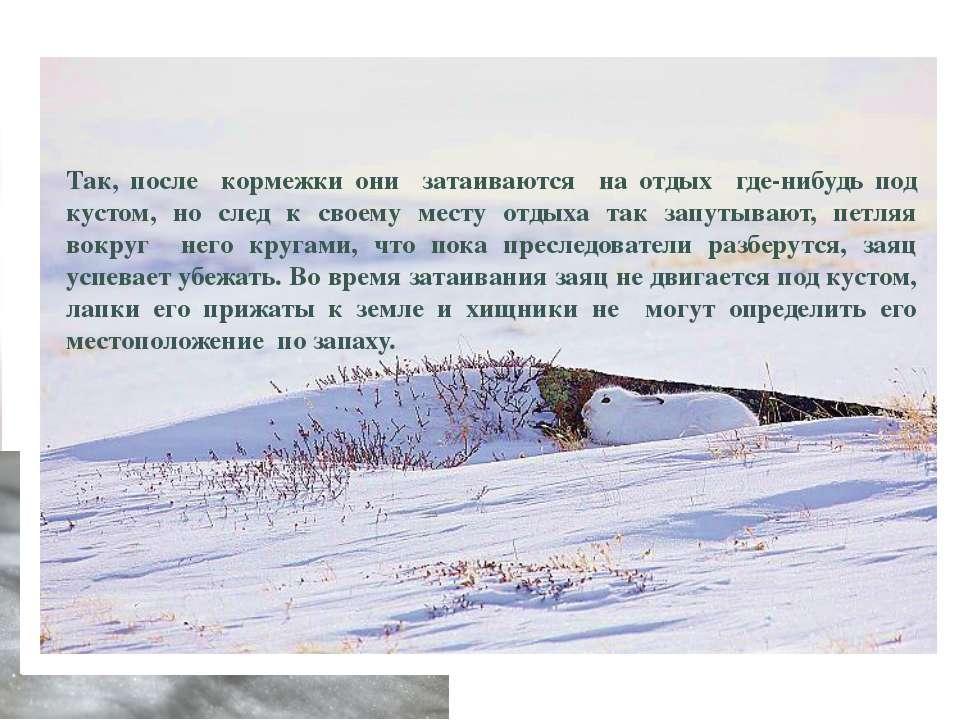 Враги зайца-беляка Враги зайца-беляка: волки, лисы, собаки, рысь, орлы, совы,...