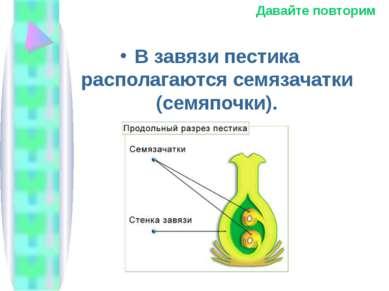 В завязи пестика располагаются семязачатки (семяпочки). Давайте повторим