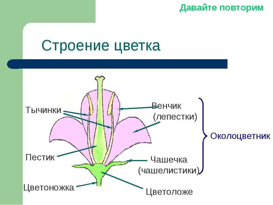 Строение цветка Чашечка (чашелистики) Венчик (лепестки) Околоцветник Пестик Т...