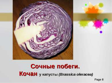 Сочные побеги. Кочан у капусты (Brassica oleracea) Page *