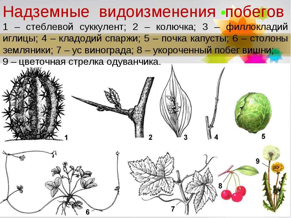 Надземные видоизменения побегов 1 – стеблевой суккулент; 2 – колючка; 3 – ф...