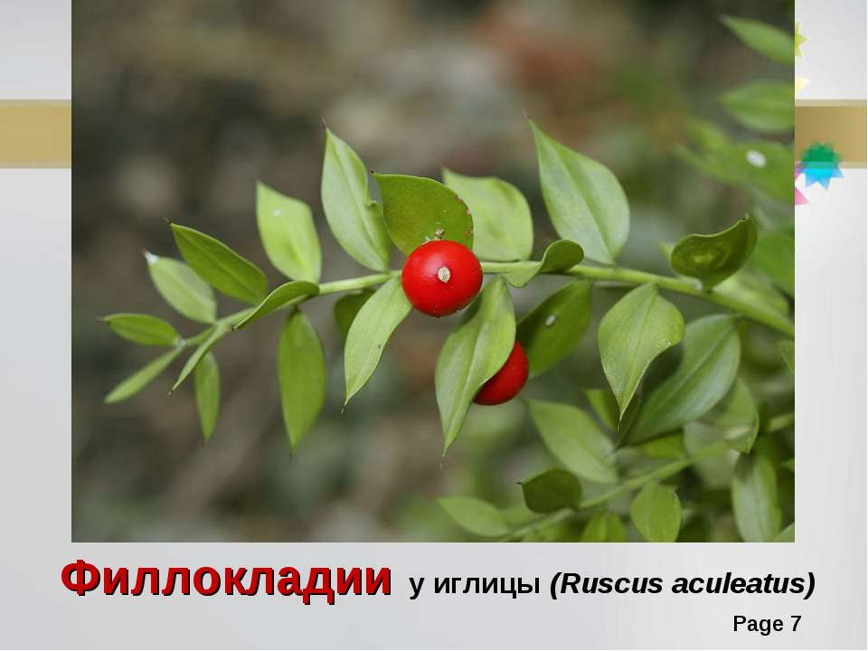 Филлокладии у иглицы (Ruscus aculeatus) Page *