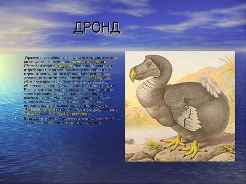 ДРОНД Утратившая способность летать птица размером с индюка (около метра), от...