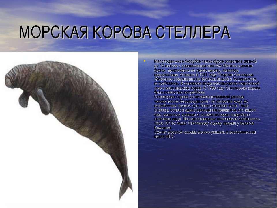 МОРСКАЯ КОРОВА СТЕЛЛЕРА Малоподвижное беззубое темно-бурое животное длиной до...