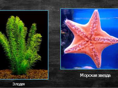 Морская звезда Элодея
