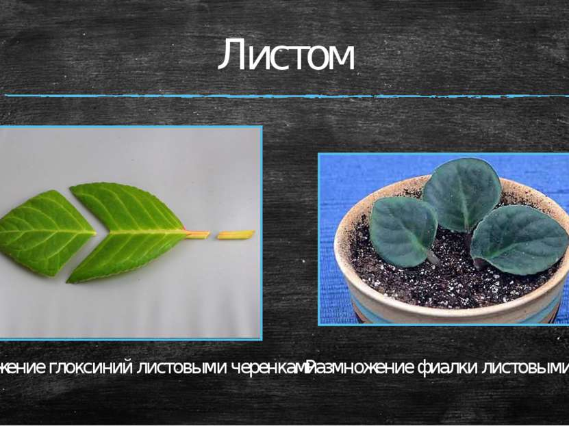 Листом Размножение глоксиний листовыми черенками Размножение фиалки листовыми...