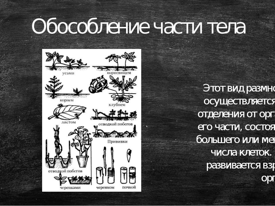 Обособление части тела Этот вид размножения осуществляется путём отделения от...