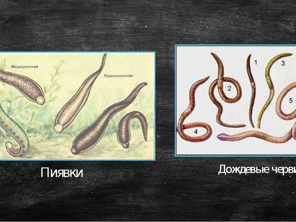 Пиявки Дождевые черви