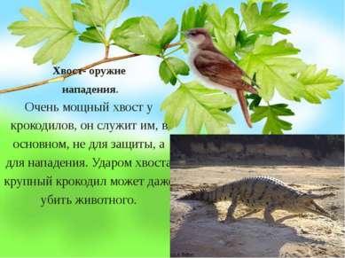 Хвост- оружие нападения. Очень мощный хвост у крокодилов, он служит им, в осн...