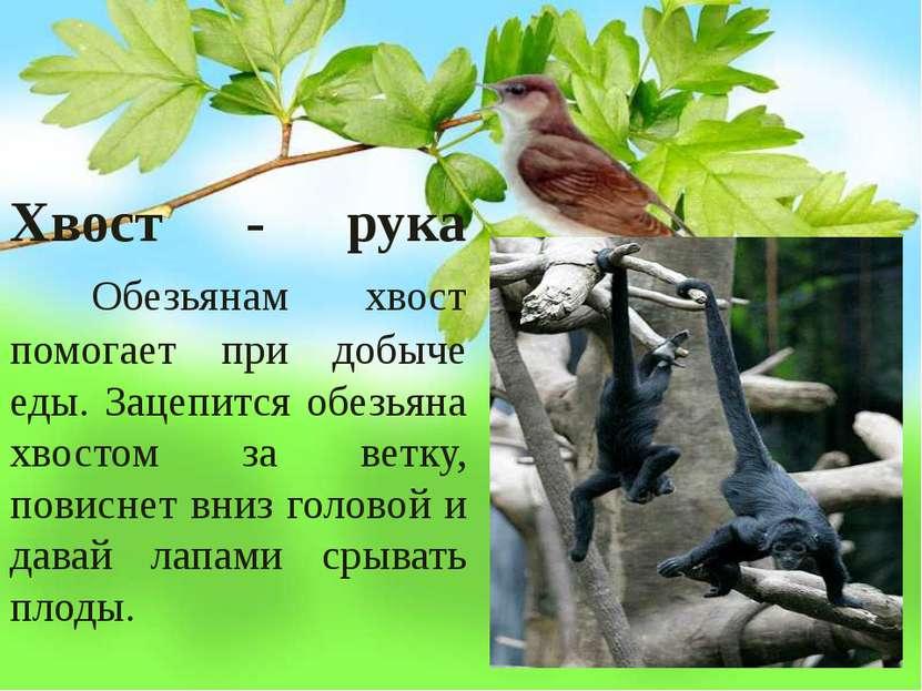 Хвост - рука Обезьянам хвост помогает при добыче еды. Зацепится обезьяна хвос...