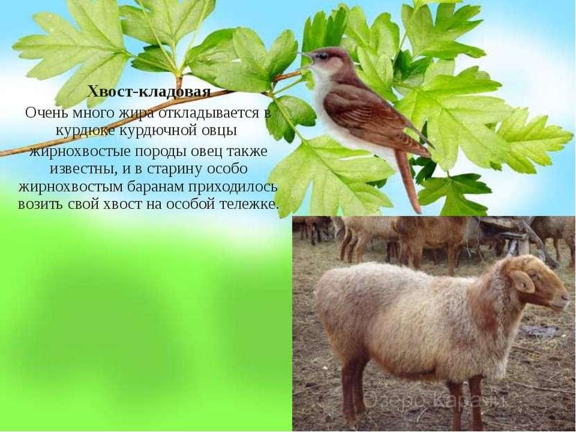 Хвост-кладовая Очень много жира откладывается в курдюке курдючной овцы жирнох...