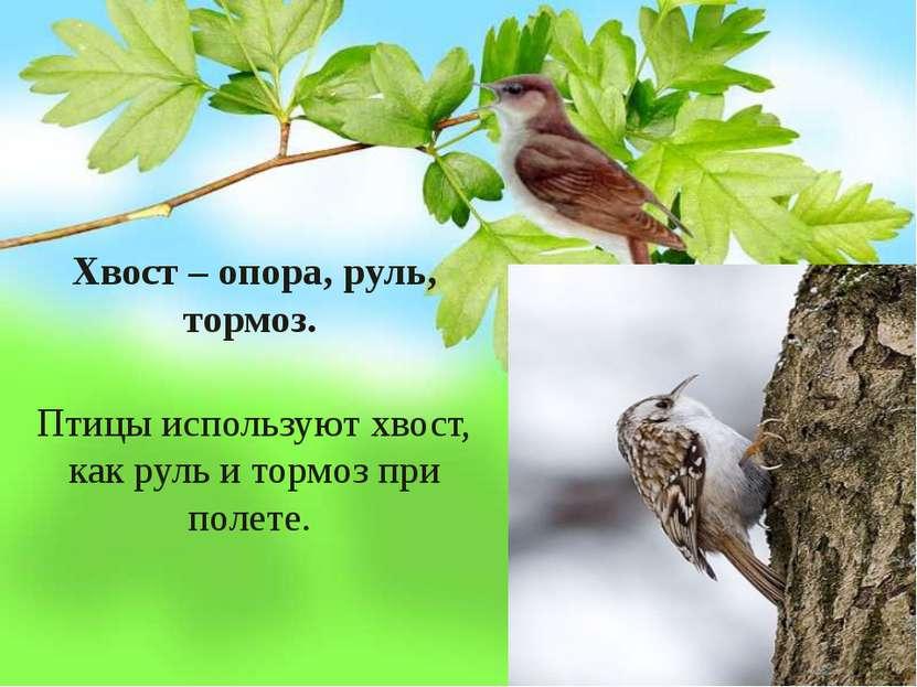 Хвост – опора, руль, тормоз. Птицы используют хвост, как руль и тормоз при п...