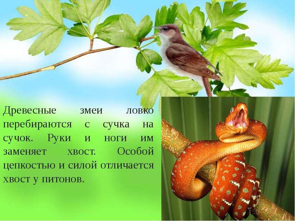 Древесные змеи ловко перебираются с сучка на сучок. Руки и ноги им заменяет х...