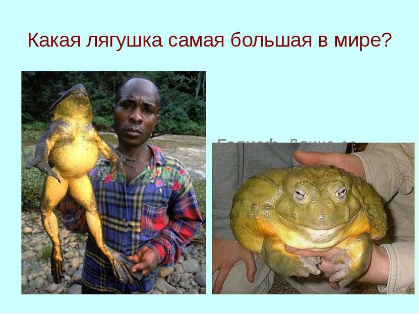 Какая лягушка самая большая в мире? Голиаф. Длина ее может достигать метра, а...