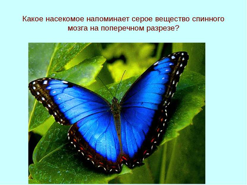 Какое насекомое напоминает серое вещество спинного мозга на поперечном разрезе?