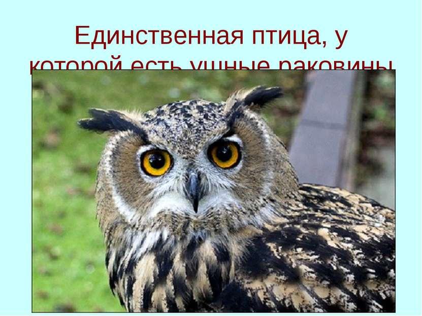 Единственная птица, у которой есть ушные раковины
