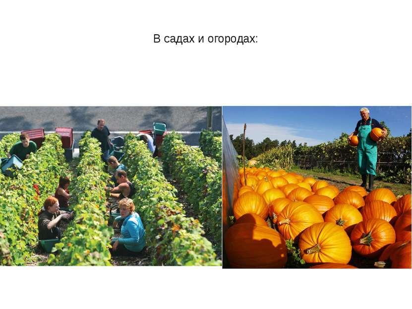 В садах и огородах: