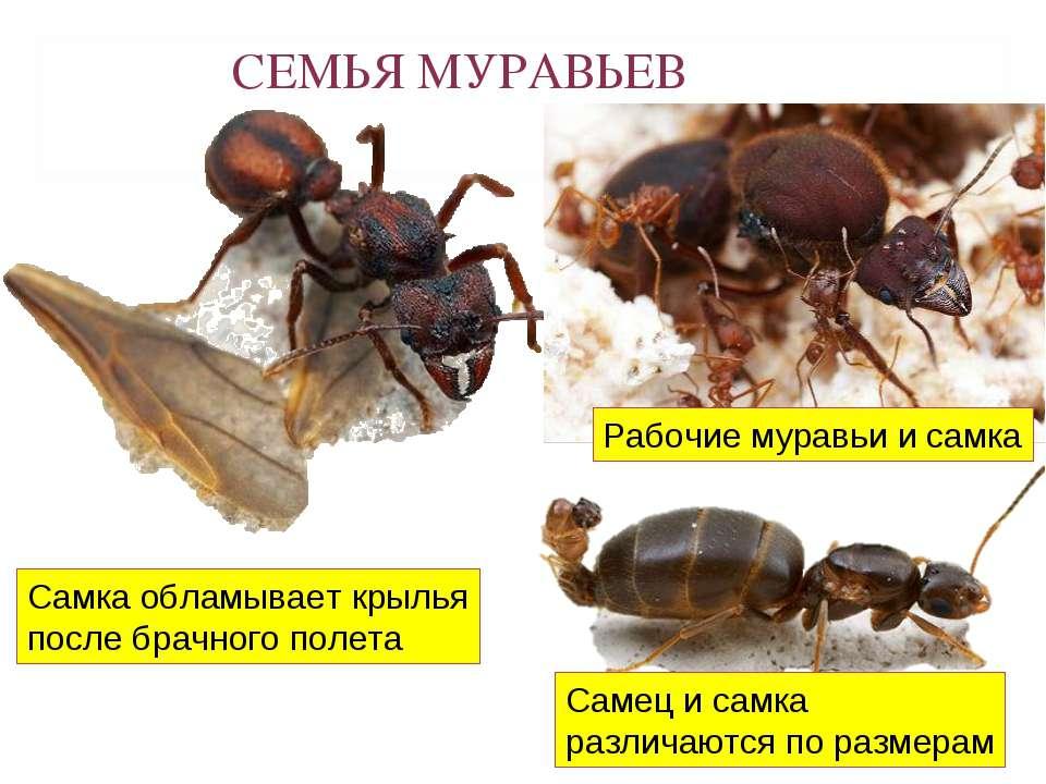 СЕМЬЯ МУРАВЬЕВ Самец и самка различаются по размерам Самка обламывает крылья ...