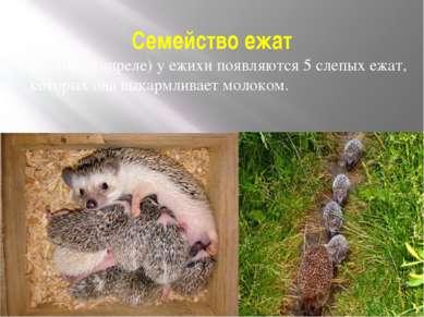 Семейство ежат Весной (в апреле) у ежихи появляются 5 слепых ежат, которых он...