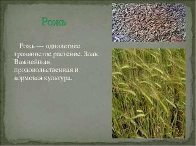 Рожь — однолетнее травянистое растение. Злак. Важнейшая продовольственная и к...