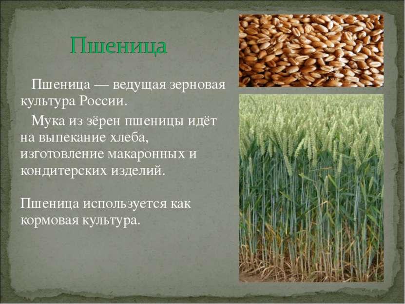 Пшеница — ведущая зерновая культура России. Мука из зёрен пшеницы идёт на вып...