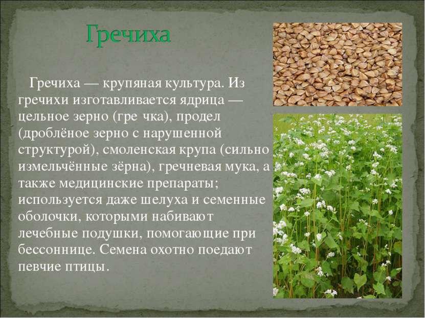 Гречиха — крупяная культура. Из гречихи изготавливается ядрица — цельное зерн...