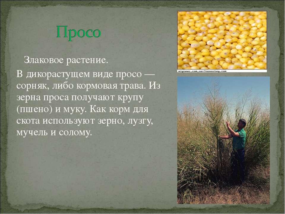 Злаковое растение. В дикорастущем виде просо — сорняк, либо кормовая трава. И...