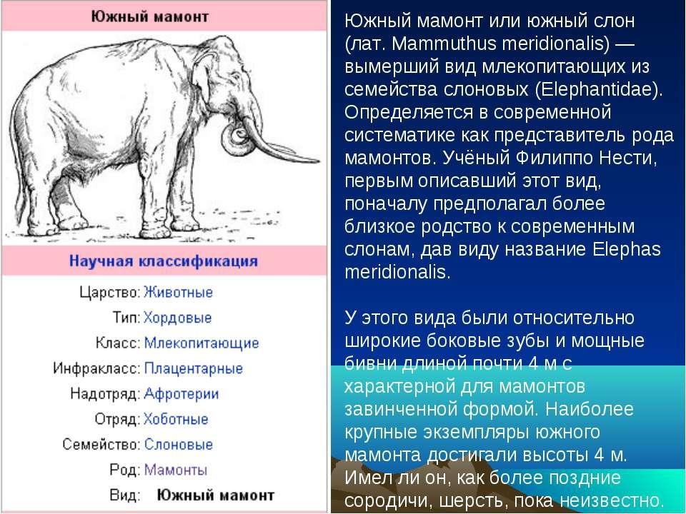 Южный мамонт или южный слон (лат. Mammuthus meridionalis) — вымерший вид млек...