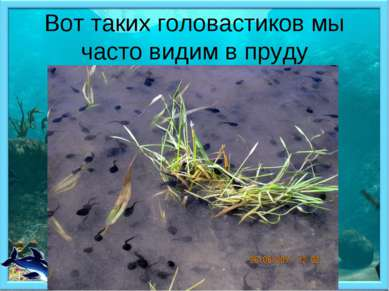 Вот таких головастиков мы часто видим в пруду