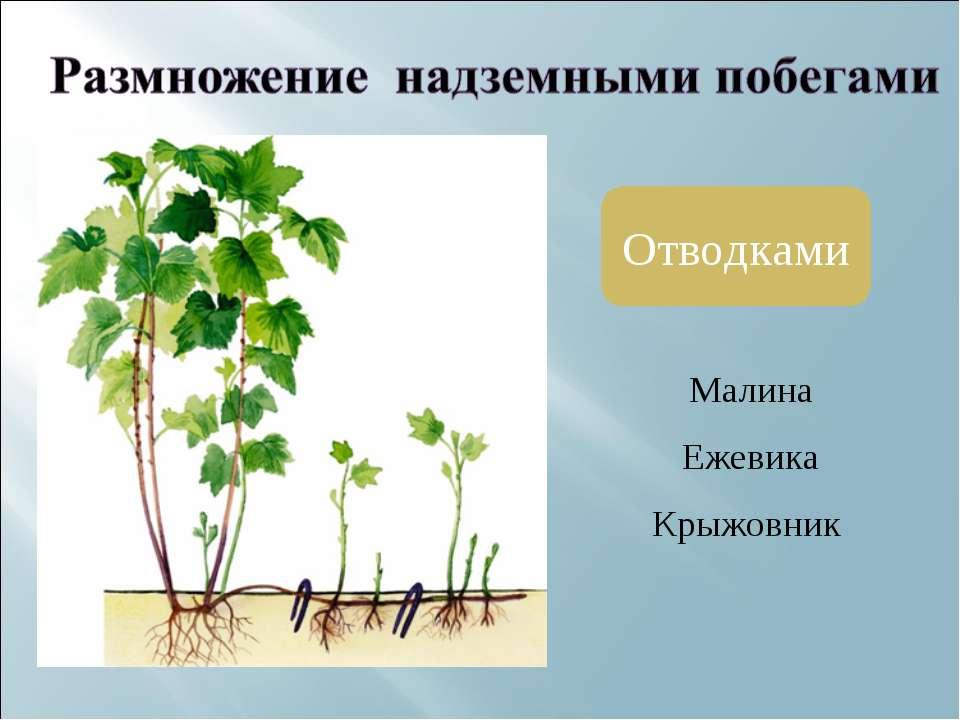 Отводками Малина Ежевика Крыжовник