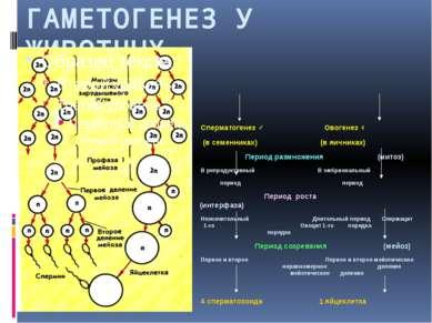 ГАМЕТОГЕНЕЗ У ЖИВОТНЫХ Сперматогенез ♂ Овогенез ♀ (в семенниках) (в яичниках)...