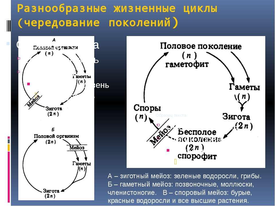 Разнообразные жизненные циклы (чередование поколений) А – зиготный мейоз: зел...