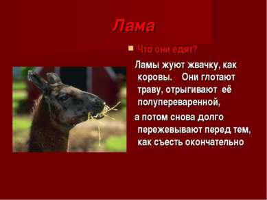 Лама Что они едят? Ламы жуют жвачку, как коровы. Они глотают траву, отрыгиваю...