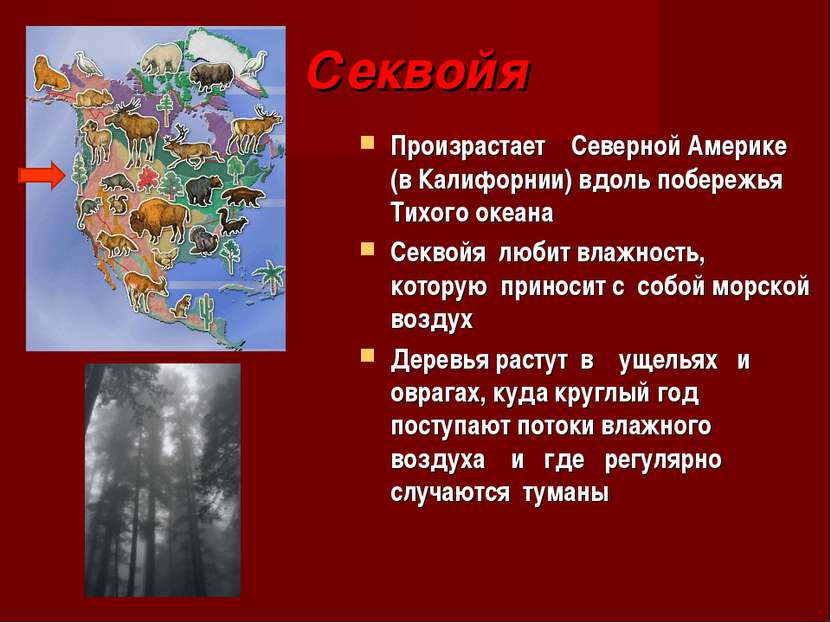 Секвойя Произрастает Северной Америке (в Калифорнии) вдоль побережья Тихого о...