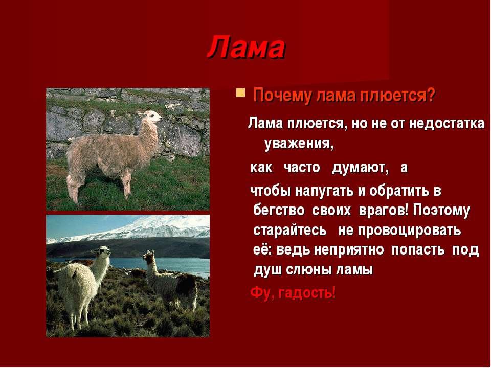 Лама Почему лама плюется? Лама плюется, но не от недостатка уважения, как час...