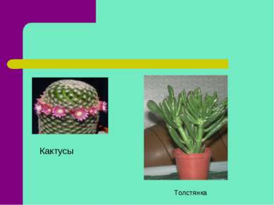 Кактусы Толстянка