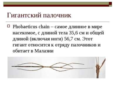Гигантский палочник Phobaeticus chain – самое длинное в мире насекомое, с дли...